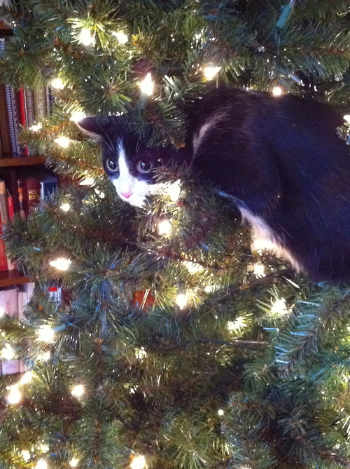 get out of there cat. you are not a festive ornament or bauble of Christmas cheer. You are a cat.
