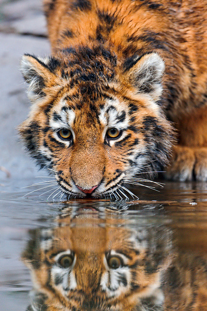 At the surface of the water… by Tambako the Jaguar on Flickr.