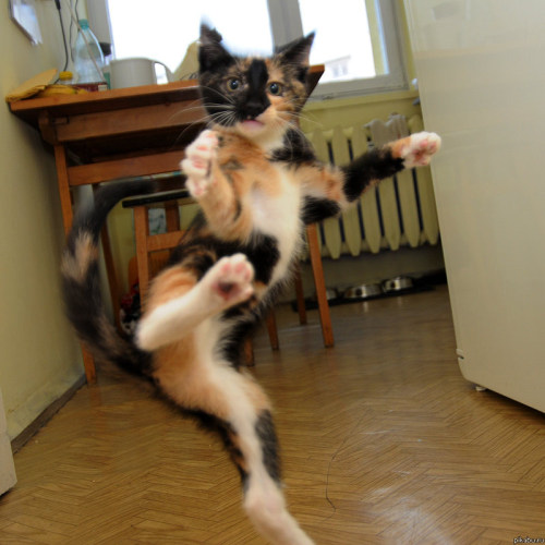 "kittehkats:  ""Your Mantis style is no match for my Flying Kitty Claw!"""