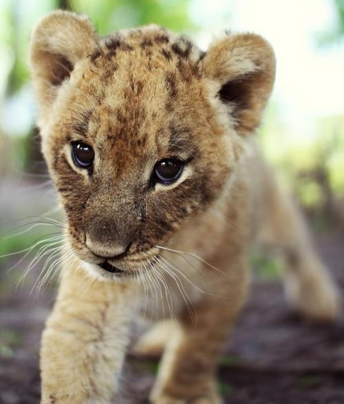 Baby Lion *-* #Lockerz