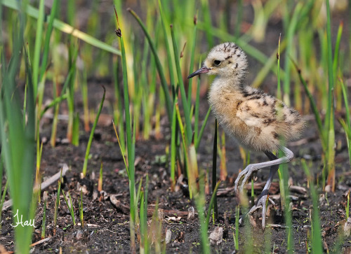 Todays Cuteness:) Long-billed Curlew Chick - 1004b+sg (by teagden)