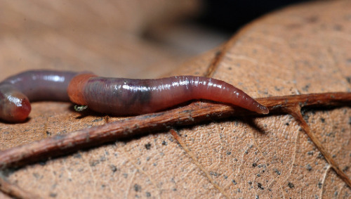 Earthworms may play a role in climate change     A new study finds that earthworms cause soil to release more greenhouse gases.