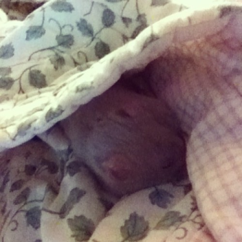 My sister's hamster likes sleeping all bundled up. #hamster #cute #company