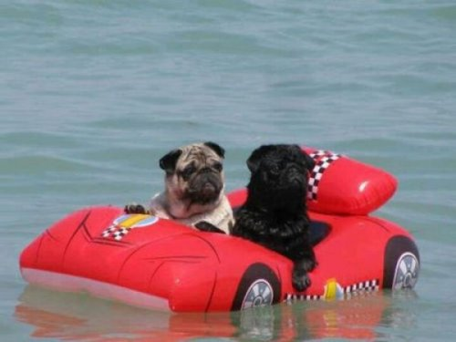 Two Pugs in an Inflatable Car Lost Somewhere at Sea GPS has failed us.