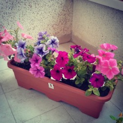 این همه رنگ از کجا آورده ای تا بشکوفی #flower #petunia #purple #pink #violet #plant #branch #green #pot #scent #smell #tehran #persian #iran #bud #soil #white #window #terrace #travel #tree #balcony #sunlight #garden #leaves #leaf #beautiful #beauty #nature #natural #spring