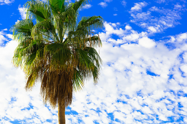 "Palm Tree - Tenerife - Canary Islands - Holiday on Flickr.Via Flickr: Taken in Los Gigantes, Tenerife, 2012Website | Facebook Fan Page | Twitter If you use this photo under the  Creative Commons license, please attribute the photo with a name credit and a link to my website. For example: ""Photo by Tom Tolkien"". Copyright Tom Tolkien 2013"