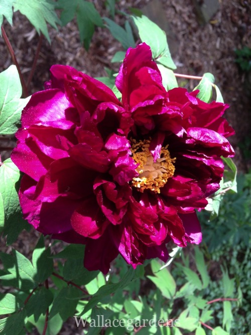 "Paeonia suffruticosa (tree peony) is native to China, where it is known as Mudan.   In front of the Audience Hall of Mu Tsung Huang Ti … there were planted thousand-petalled tree-peonies. When the flowers first opened the fragrance of their perfume was perceived by everyone. Each blossom had a thousand petals, large and deeply red. Every time His Majesty gazed upon the sweet-scented luxuriance he would sigh and say, 'Surely such a flower has never before existed among men!' (Ninth-Century Chinese Writer)  Science and Civilisation in China: Volume 6: Biology and Biological Technology, Part 1, Botany, by Joseph Needham (Cambridge University Press 1986).   The tree peony is not actually a ""tree"" but more of a woody-shrub preferring some shade from harsh afternoon noon. The woody stalks produce the next season's flowers and should be left in tact throughout the winter (unlike herbaceous peonies which die to the ground each season). They are very slow to establish, but well worth the wait. Huge blooms appear in mid-spring (before herbaceous peonies) and the flowers are surrounded by lovely fern-like foliage with a reddish tinge."