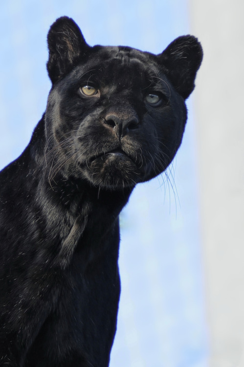 "loveforearth:  ""Black Jaguar"" by Josef Gelernter"
