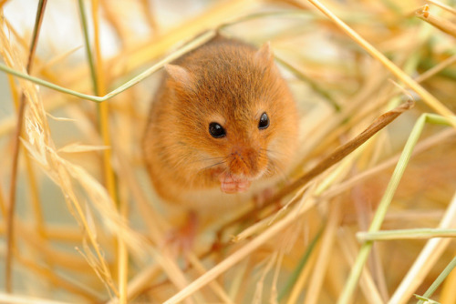 Harvest mouse by amylewis.lincs