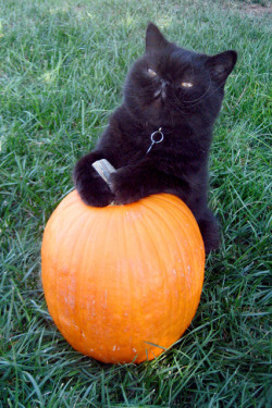 unimpressedcats:  take a picture of me and my pumpkin