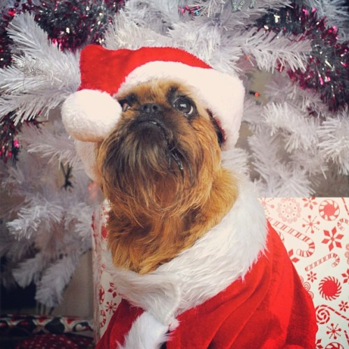 "Digby Claus It's Christmas Eve here in New Zealand so Digby Claus says ""merry Christmas, let's get drunk and eat too much bacon!"" Yes Digby, lets! #thedigbydaysofchristmas - @digbyvanwinkle- #webstagram"
