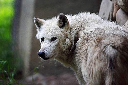 petitloupbete: