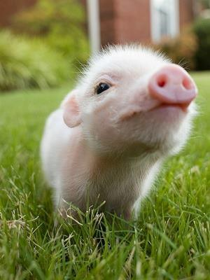 zucker-watten-welt:  pig♥ | via Facebook on We Heart It - http://weheartit.com/entry/57909607/via/BeatriceZuckerwatte