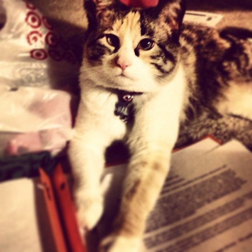 Helping with #homework 😸📚 #cat #meow  FOLLOW ME ON INSTAGRAM — ch33tuh