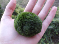 "batmanyells:  labyrinthinespines:   毬藻 its alive! this marimo is about 6 years old. The bottom of Lake Akan in Hokkaido Japan is inhabited by miraculously spherical rare algae called ""marimo."" In 1921 they were declared a ""Japanese Natural Treasure"" and the public's interest in Marimo was stirred. Many Japanese have Marimo as pets in their homes and offices. They are beautifully soft and smooth like velvet and are very easy to care for. Marimo are happiest when they are in filtered water.Just change their water once a week.Marimo like baths!Sometimes you will see cloudy bits of filth clinging to the Marimo. Simply run the marimo under the kitchen sink and he will be clean and very thankful.Marimo can thrive wonderfully in artificial light but they do NOT like direct sun light. When you receive your Marimo it will probably float for a while on the surface, this is the Marimo's natural way of getting lots of light and then once its had enough he will float down to the bottom. In the waters of lake Akan the Marimo bounce around in the lakes current and the current helps them grow into their nice spherical shape so they like to be poked, and moved around. This also helps them get even lighting. its perfectly safe to hold Marimo. Marimo are great pets for children.Marimo grow 5mm a year and live to be over 100!Look no further, the Marimo i care for are the greenest and healthiest.no chemicals are used in their aquarium.   WHAT NO WAY  The only pet I want."
