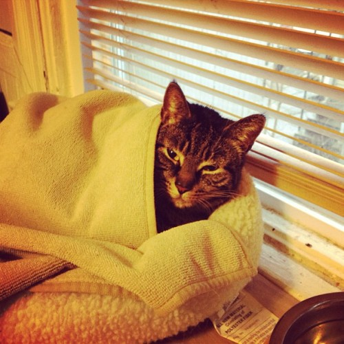Lulu in a blanket. #cat #kitty #catsofinstagram