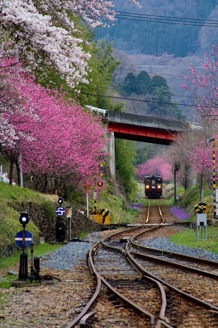 tassels:  Cherry Blossom train, Japan