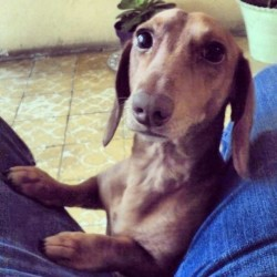 Mi bebé, el mas guapo. #pet #dogs #cute #dachshund #animals #instapet