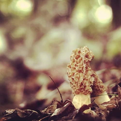 joshuaandersonphotography:  Morels, deciduous forest, southern Ohio. #morel #morels #mushrooms #mushroomhunting #fungi #fungus #ohio #nature