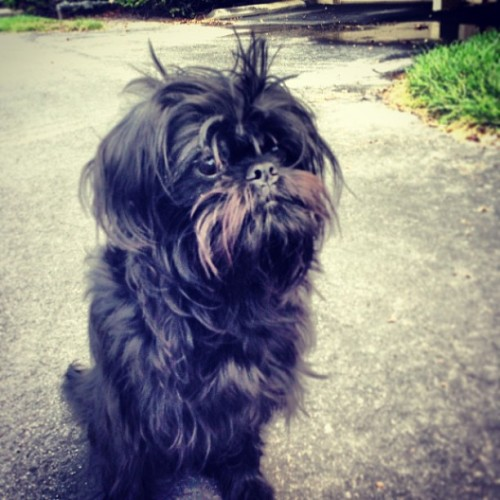 I need a haircut! - Katana #pet #instadog #instapet #brusselsgriffon #monkeydog #love