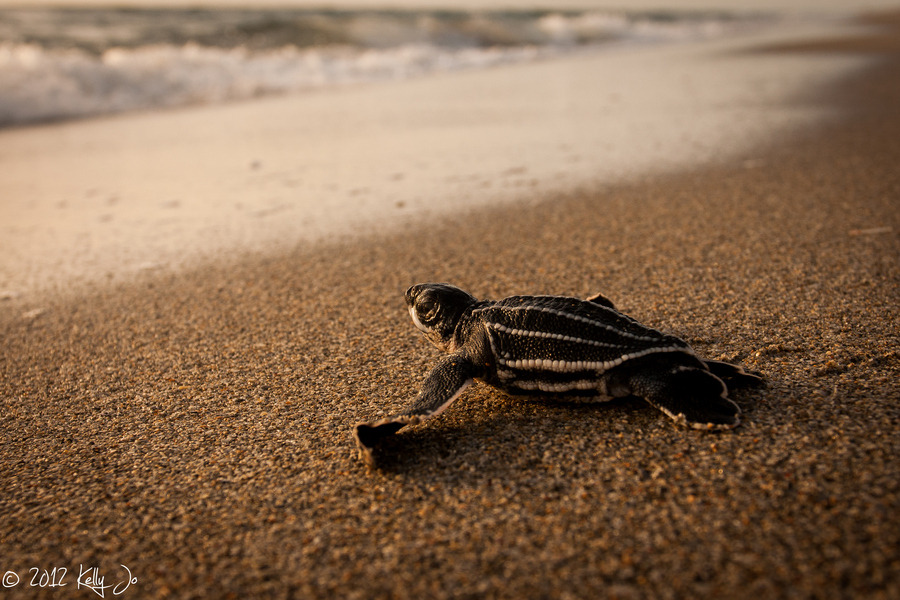 animals-animals-animals:  Leatherback Sea Turtle (by Kelly Martin)