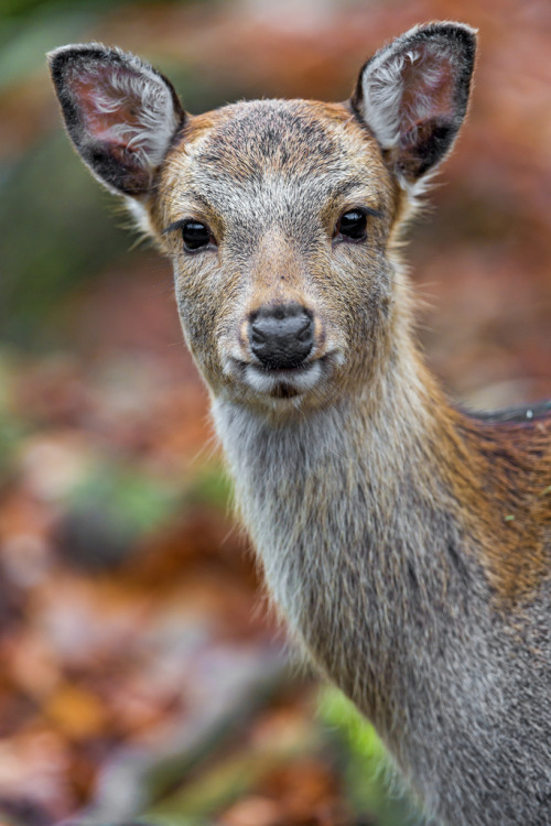 theanimalblog:  Doe looking at me (by Tambako the Jaguar)