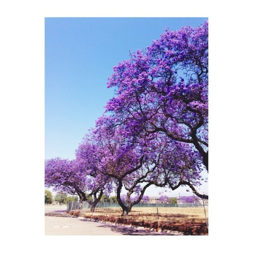 Loved Mexico, but it is good to be home. #spring #Jacaranda #pretty #beautiful #sky #purple