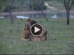 stephana4728gladstone36:  XXX Gay Lions  Do you like this funny animal video? Please submit your review and comments. Thank you. Did you already have viewed this YouTube videos?.youtube.com/watch?v=nvkn0vl6MEcfeature=sharelist=PLPyQ7z…Find us on Facebook: .facebook.com/pages/Tierisch-gute-Videos-Amazing-animal-videos/2846…  Press the PLAY button  Or visit http://mdsnews.info/pets/xxx-gay-lions-2/