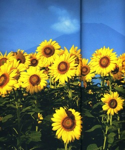 booglarized:  sunflowers