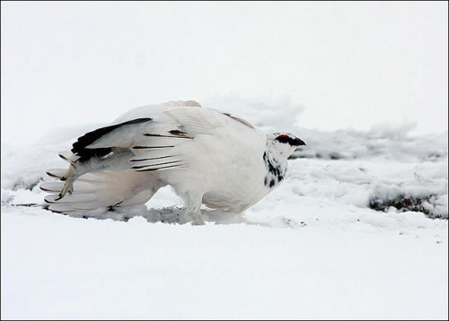 Male Ptarmigan Stretching by Chris Sharratt on Flickr.