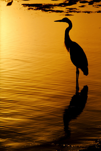 oculi-ds:  Great Blue Heron Contemplating the Sunset by bmse on Flickr.