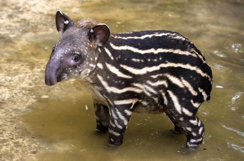 Mirkokosmos baby tapir tapirs were one of my insert for Take me fishing org