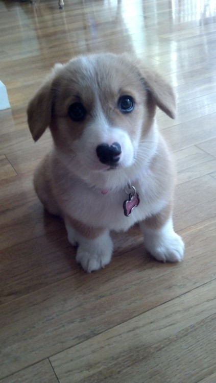 I'm determined to get a corgi one day! :D