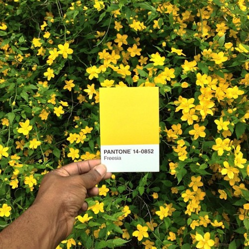 pauloctavious:  The Pantone Project - I am on a mission to match all the Pantone colors to things I find in everyday life. The Pantone Matching System is used in the printing industry that assures you get the right color when the file is printed. Colors are indicated by Pantone name or number . :) Pantone 14-0852 Freesia #thepantoneproject