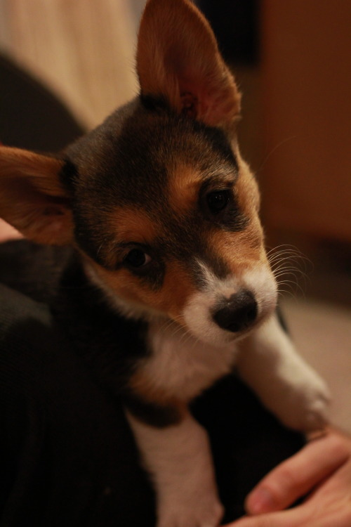 corgiaddict:  This is Zora! I think she's a little sleepy in this pic… 3 months old!