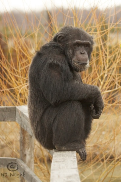I had an amazing day shooting at Fauna Wednesday. The chimps were enjoying time on the islands after the long winter indoors.  faunachimps:  Binky out enjoying the spring weather yesterday!