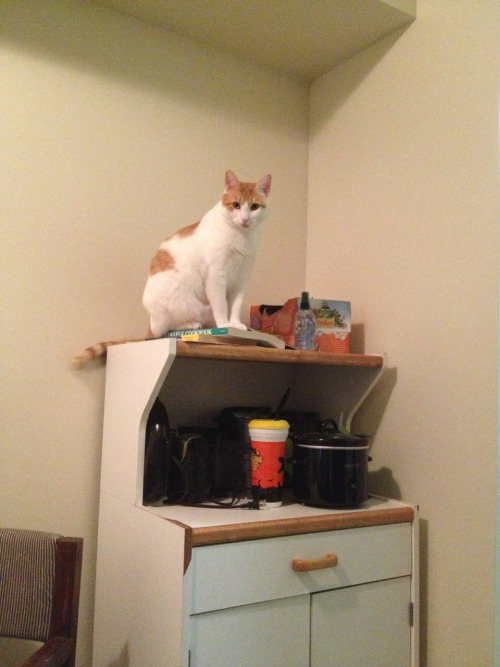 thelibrariansoftimeandspace:  Get off of my cookbook, cat! I don't care if your food is up there.