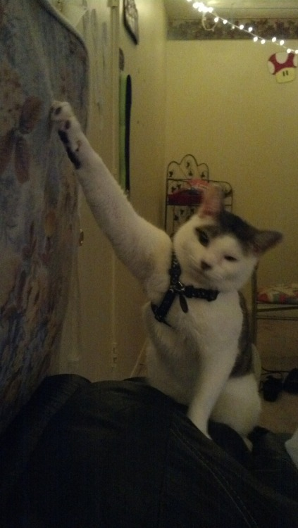 iamsavingtheuniverse:  so my cat does this weird thing where she'll play with something and then all of a sudden she'll start meowing because everything single time she gets her claw stuck and then she'll just look at me meowing because she expects me to get her unstuck. every. single. time.
