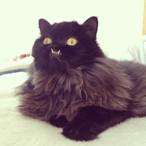 hobbit-queen:  weirdoqueer:  this cat's name is princess monstertruck that's it evreything's going to be ok  Holy shit, SYLVER!