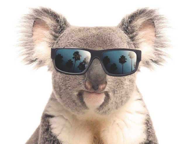 Cooladdi the koala by Official San Diego Zoo on Flickr.
