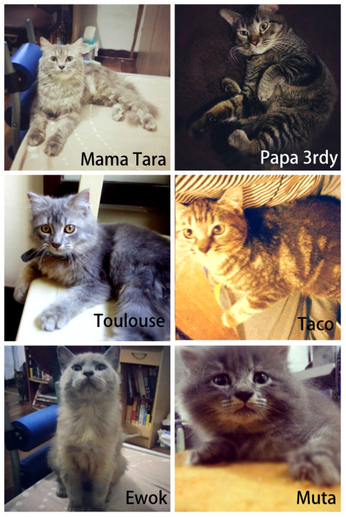 THE FAMILY OF TOULOUSE! ;3 Meoooow! Mama Tara the Persian Chinchillan and Papa 3rdy the Japanese bobtail. :3 So yeah Toulouse,Ewok and Muta are 3/4 Persian Chinchilla and 1/4 Japanese bobtail, and Taco the one who looks like her father! hehe yup hers is the opposite side, that is 3/4 Japanese bobtail and 1/4 Persian Chinchilla :3 aweeh! meow :3 oh they also have 4 other siblings, I just can't find some photos on kuya RB's facebook, hehe yup I grabbed all these photos from kuya RB's fb except Taco that I grabbed from Thezza's fb and Toulouse which si mine, haha I really have many photos of Toulouse :3 that Ewok,Muta,Toulouse and Taco are the 1st batch of kittens of Mama Tara and Papa 3rdy, the second batch which is the other 4 is the opposite side which is there are 3, 3/4 Japanese bobtail and 1/4 Persian Chinchilla and yes 1, 3/4 Persian Chinchilla and 1/4 Japanese bobtail.. awh haha how cool right? so yes Mama Tara and Papa 3rdy have 8 kittens! 4 are 3/4 Persian Chinchilla and 1/4 Japanese bobtail, like Mama Tara  and the other 4 are 3/4 Japanese bobtail and 1/4 Persian chinchilla like Papa 3rdy! aweeeh :3 meooow! ♥