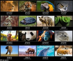 "carnaro:  vandrare:  deiwosex:  national-conservative:  mbti—junkie:  MBTI and Animals. (Click to Enlarge)  King of the Jungle.  Solitary hunter  Ride the Tiger  myers briggs isnt real  If you approached a psychologist and said ""hey, my Myers Briggs test tells me 'x',"" he'd laugh you out of the room."