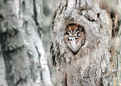 ecocides:  An eastern screech-owl hides in a tiny hole in a tree in Providence, Rhode Island. Photographer Peter Green spent two years attempting to capture the moment after being tipped off by friends about the bird's quirky behaviour | image by Peter Green