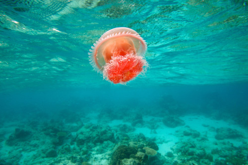 100leaguesunderthesea:  Jellyfish - Dimakya Island, Philippines by James R.D. Scott