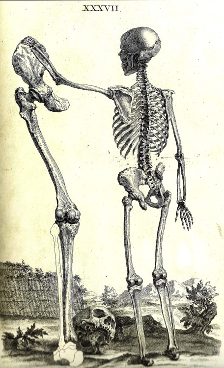 orano:  William Cheselden (1688-1762) Osteographia, or the Anatomy of the Bones -  London - 1733 Skeleton of a child