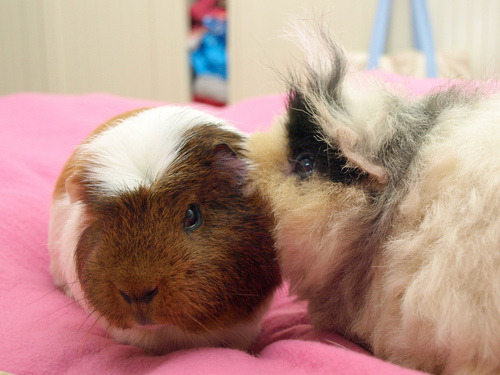 "thefluffingtonpost:  REPORT: Guinea Pigs Engaging In Insider Trading By Scott Friedstein, FluffPo Correspondent According to a report filed by the U.S. Securities and Exchange Commission, guinea pigs have been knowingly participating in insider trading in a brazen attempt to make a profit. The report cited several prominent guinea pig investors who have engaged in suspicious stock activity as of late. ""There was a massive sell-off of PiggyCorp stock right before it went under,"" says SEC spokesman Paul Cohen. ""Guinea pigs are cute, but that can't be a coincidence. We have every reason to believe that the PiggyCorp liquidation was an inside job. And as for the piggies who profited — well, let's just say their days are numbered."" Via Castaway in Scotland."