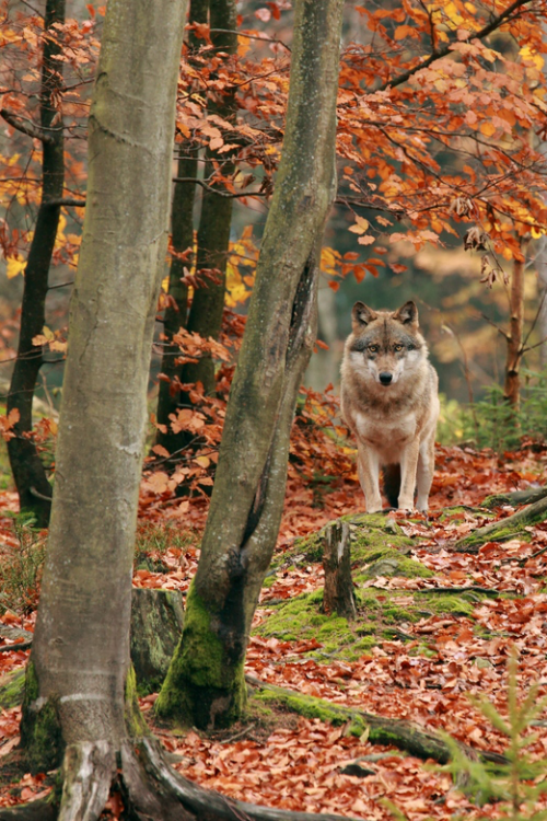 expressions-of-nature:  Mr. Wolf by: Jirina Bilkova