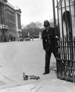 brentbs:  Polite  A policeman at Buckingham Palace holds the gate open so that a duck and her ducklings, from nearby St. James's Park, can leave the palace forecourt. (Photo by Douglas Miller/Keystone/Getty Images). May 4, 1964