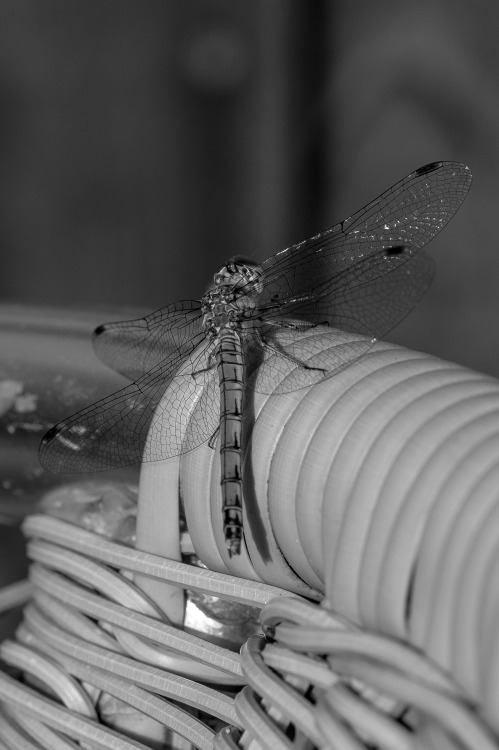 photographers on tumblr original photography black and white dragonfly macro photography opot my photography digital photography