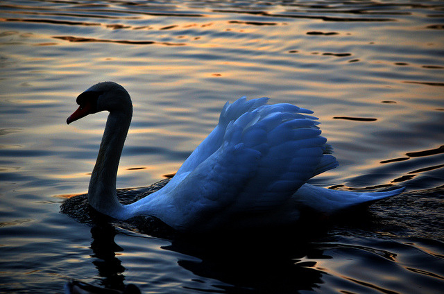 sunset swan on Flickr.